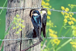 Tree swallow pair at nest