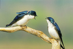 Tree swallow pair vocalizing