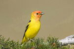 Western tanager perched on pine