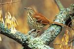 Brown thrasher in fall