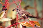 Gray-cheeked thrush on pokeweed