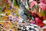 Gray cheeked thrush in fall