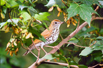 Wood thrush in maple