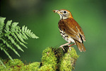Wood thrush with insects
