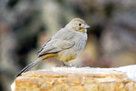 Canyon towee on rock