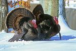 Wild turkey in snow