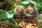 wild turkey chicks