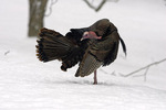 Wild turkey in snow