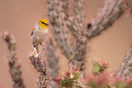 Verdin on cholla