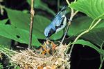 Black-throated-blue warbler nest