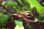 Golden-winged warbler with food