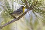Grace's warbler - male
