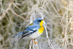 Parula warbler by Spanish moss