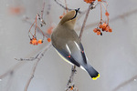 Cedar waxwing reaches fruit