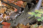 long-tailed wease