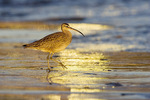 Whimbrel and sunglow