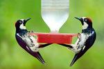 Acorn woodpecker two at feeder