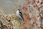downy woodpecker in winter