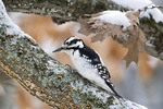 Hairy woodpecker in winter