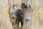 Pileated woodpecker by poison ivy