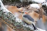 Red-bellied woodpecker in winter snow on oak