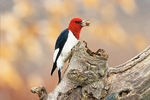 Red-headed woodpecker with acorn