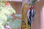 Red-breasted sapsucker by sapwells
