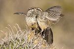 Cactus wren pair