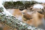 Carolina wren in winter