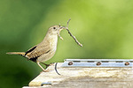 House wren with stick for nest