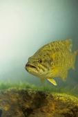 Smallmouth bass over rocks