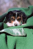 Beagle puppy in blanket