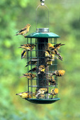 American goldfinch flock at thistle feeder