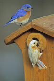 Bluebirds - male and imperfect albino at nest