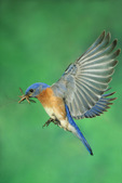 Eastern bluebird flying with insects
