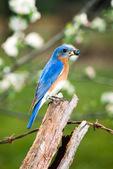 Eastern bluebird on post
