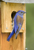 Western bluebird male at nest