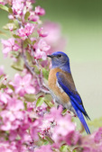 Western bluebird in crabapple