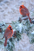 cardinals on icy pine