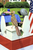 Cardinal on 4th of July