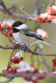 black-capped chickadee in winte