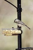 Mountain chickadee at peanut feeder