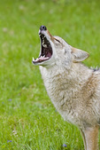 Coyote howls