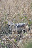 Coyote in soybean field