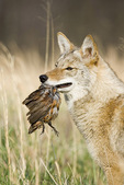 Coyote with quail