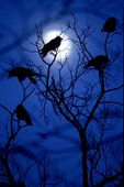 crow roost and moon