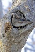 Wood duck hen at nest