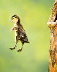 Wood duck duckling leaps