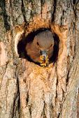 flicker digs nest
