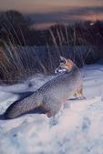 Gray fox in winter twilight